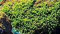 Algae, St. Martin's Island (01).jpg