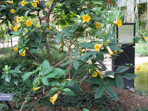 Description de l'image Allamanda oenotherifolia3.jpg.