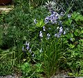 Allium blue Chinese sp and Adenophora uehatae - Flickr - peganum.jpg