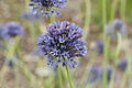 Allium caeruleum-IMG 4312.jpg