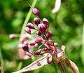 Allium carinatum ENBLA07.jpg
