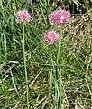Allium strictum 2 RF.jpg