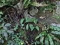 Allium ursinum 121691259.jpg