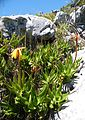 Aloe commixta - Cape Peninsula Aloe - Kommetjie - Cape Town 1.jpg