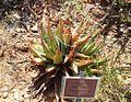 Aloe falcata - vanrynsdorp aloe - KDNBG Worcester.jpg