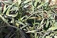Aloe sinkatana 1zz.jpg