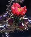 Along W Pecos Way in Tortolita, Ariz - more prickly blooms - (17914122730).jpg