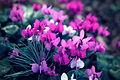 Alpine Violets Shallow DOF (Closeup).jpg