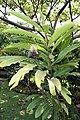 Alpinia purpurata 22zz.jpg