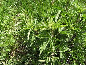 Althaea cannabina - Plant of Althaea cannabina, Castelltallat
