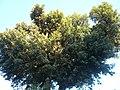 Alzina de Can Sentmenat P1510562.jpg