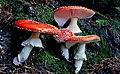 Amanita muscaria (11349282084).jpg