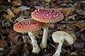 Amanita muscaria (6) (30519498754).jpg