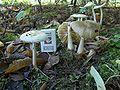 Amanita phalloides old 4.jpg