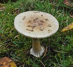 Amanita sp. 2010-10-31.jpg