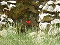 Amapola entre las ruinas (13152688265).jpg