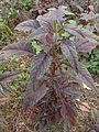 Amaranthus mangostanus L..JPG