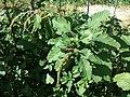 Amaranthus viridis sl8.jpg