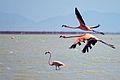 American Flamingo - Flamenco (Phoenicopterus ruber) (13906570385).jpg