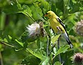 American Goldfinch (23805219588).jpg