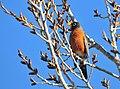 American Robin on Seedskadee National Wildlife Refuge (26277940955).jpg