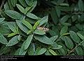 American Snout (Nymphalidae, Libytheana carinenta) (30247797595).jpg