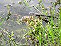 American Toads (Bufo americanus) - Flickr - Jay Sturner (5).jpg