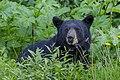 American black bear (Ursus americanus) - Jasper National Park 08.jpg