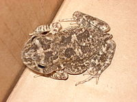 Amietophrynus maculatus.JPG