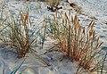 Ammophila arenaria 1.jpg