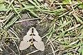 Amsactoides solitarius (40043003115).jpg