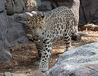 A photograph of a {{MultiLink|Amur Leopard}} (...