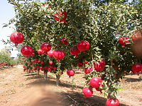 Anar(Pomegranate).jpg