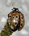 Anatis-ocellata-02-fws.jpg