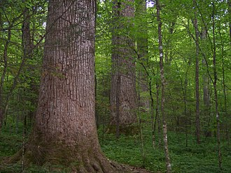 Nantahala National Forest - Ancient Tulip poplar grove in Joyce Kilmer Memorial Forest.
