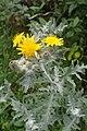 Andryala pinnatifida kz7.jpg