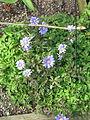 Anemone appenina - probably Petrovac (17063627331).jpg