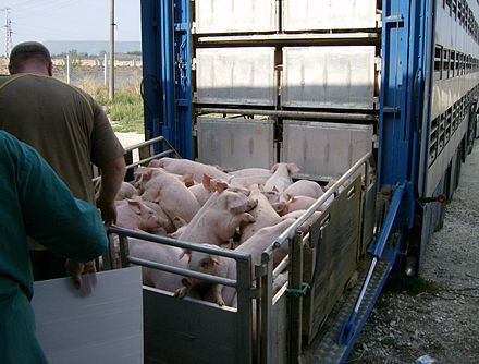 Pigs being loaded into their transport Animal transport 6.jpg