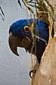 Anodorhynchus hyacinthinus -captive -looking out of nest-8a.jpg