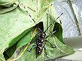 Anoplophora glabripennis Enschede2008 a200.jpg