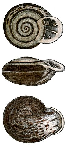 Anostoma octodentatum shell.jpg