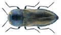 Anthaxia umbellatarum Fabricius 1787.png