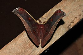 Antheraea assamensis.JPG