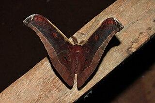 <i>Antheraea assamensis</i> Moth of the family Saturniidae