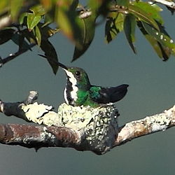 Anthracothorax nigricollis-Black-throated Mango (female).JPG
