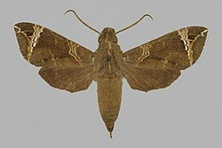 Antinephele achlora BMNHE813366 male up.jpg