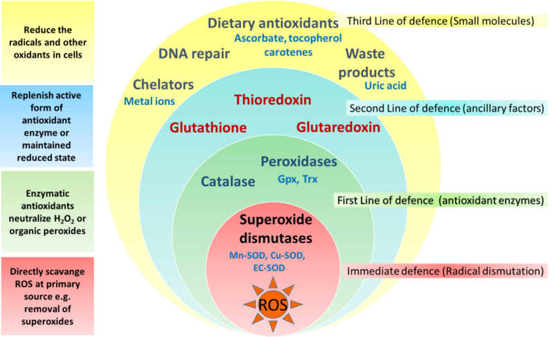 File:Antioxidant defence stratification.png