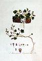 Antirrhinum cymbalaria — Flora Batava — Volume v2.jpg
