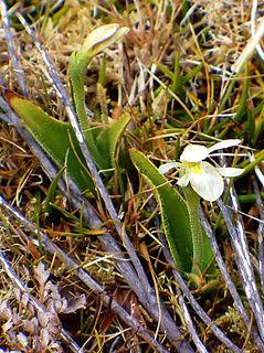 <i>Aporostylis</i> genus of plants