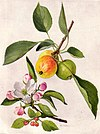 Apple and Blossom (NGM XXXI p501).jpg